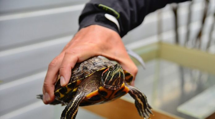 A resident of Rome fined for walking turtles