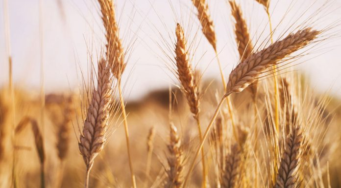 Agriculture Ministry next week grain prices stabiliziruemost and will go down