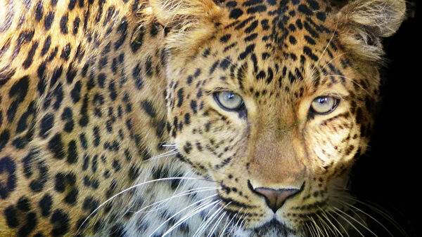 In South Africa took video of the female leopard teaches cubs to cross the road