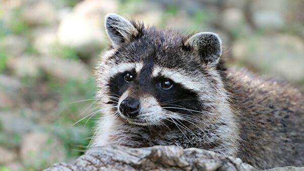 In the US firefighters rescued a raccoon from a trap at the skate Park